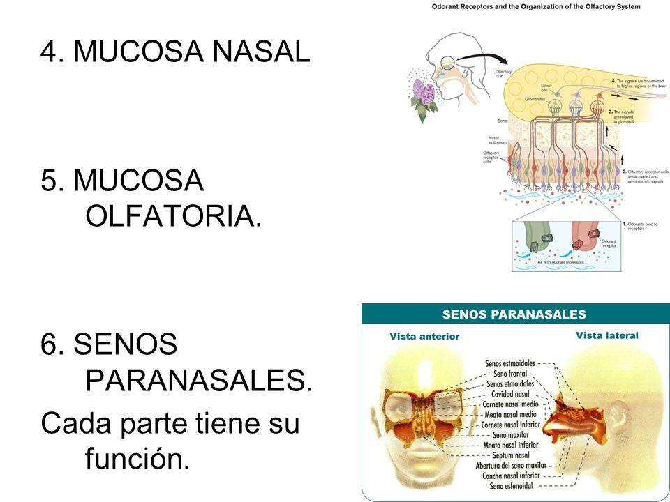 4. MUCOSA NASAL 5. MUCOSA OLFATORIA. 6. SENOS PARANASALES. Cada parte tiene su función.