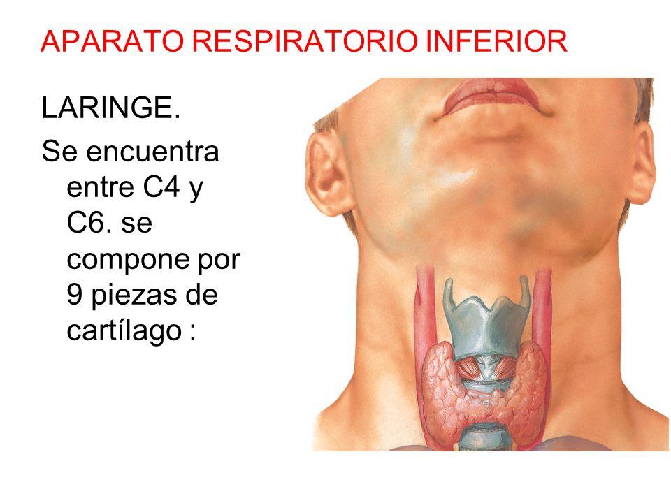 APARATO RESPIRATORIO INFERIOR LARINGE. Se encuentra entre C4 y C6. se compone por 9 piezas de cartílago :