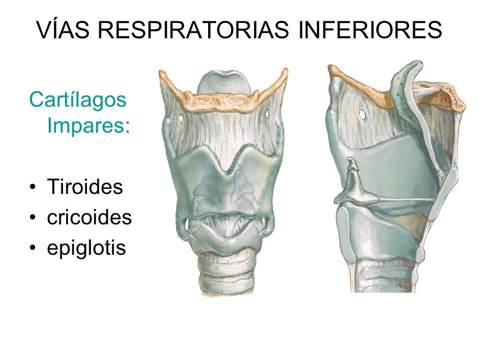 VÍAS RESPIRATORIAS INFERIORES Cartílagos Impares: Tiroides cricoides epiglotis