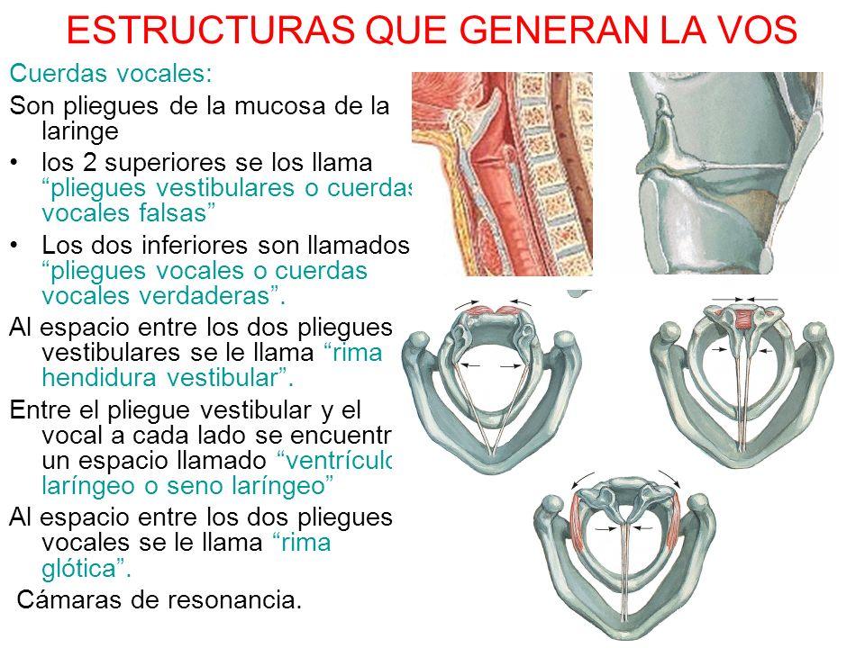 ESTRUCTURAS QUE GENERAN LA VOS Cuerdas vocales: Son pliegues de la mucosa de la laringe los 2 superiores se los llama pliegues vestibulares o cuerdas