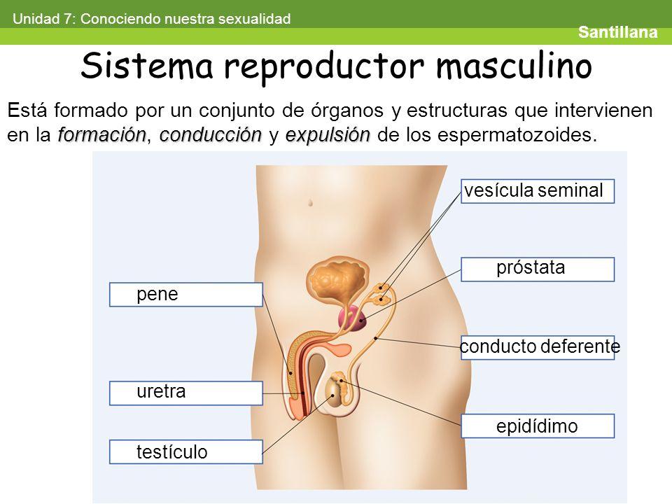 Excepcional órganos Del Sistema Reproductor Masculino Foto ...