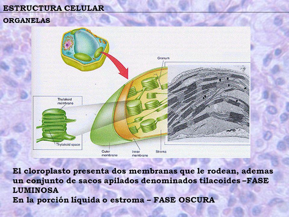 ESTRUCTURA CELULAR El cloroplasto presenta dos membranas que le rodean, ademas un conjunto de sacos apilados denominados tilacoides –FASE LUMINOSA En