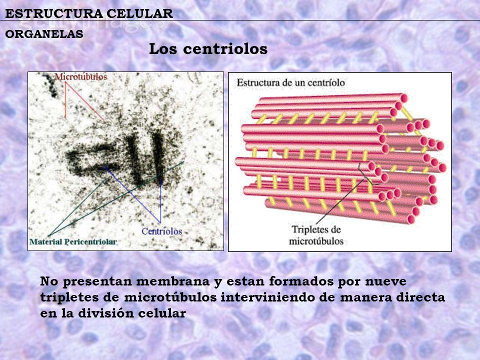 ESTRUCTURA CELULAR No presentan membrana y estan formados por nueve tripletes de microtúbulos interviniendo de manera directa en la división celular O