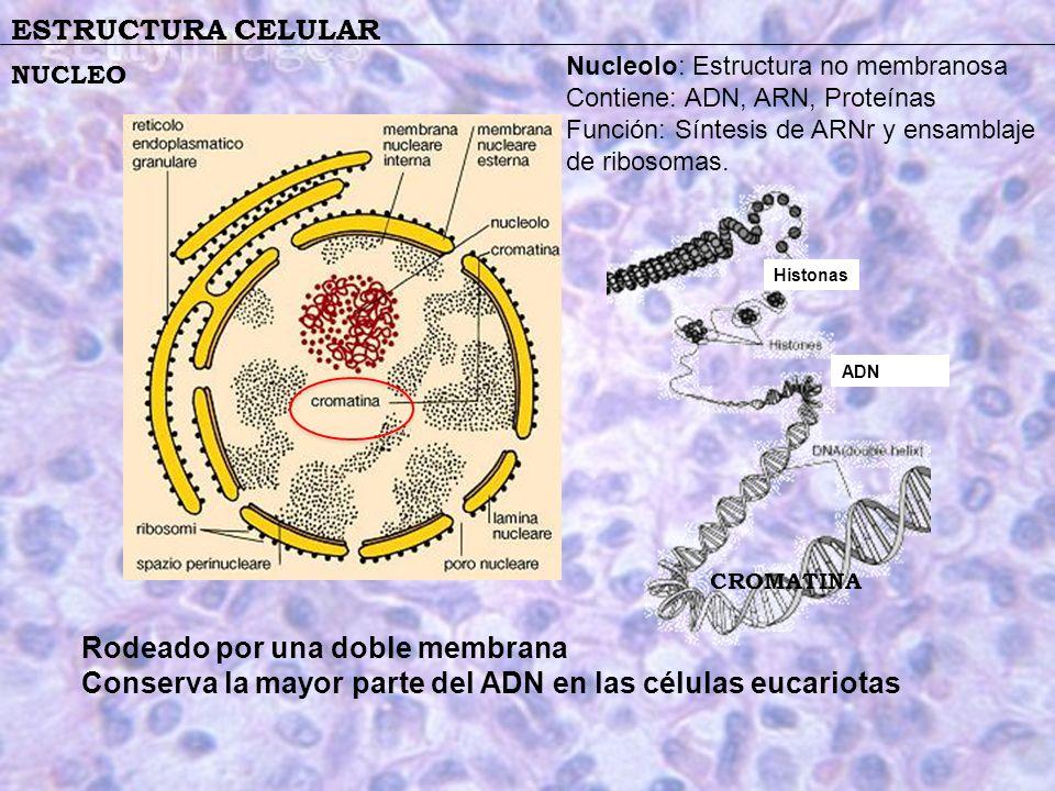 ESTRUCTURA CELULAR NUCLEO Histonas ADN Rodeado por una doble membrana Conserva la mayor parte del ADN en las células eucariotas CROMATINA Nucleolo: Es