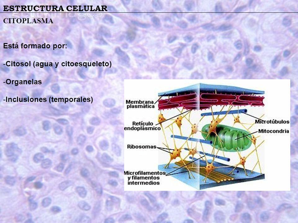 ESTRUCTURA CELULAR CITOPLASMA Está formado por: -Citosol (agua y citoesqueleto) -Organelas -Inclusiones (temporales)