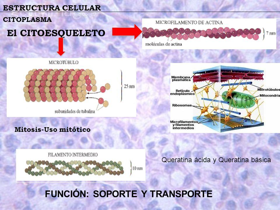 ESTRUCTURA CELULAR CITOPLASMA El CITOESQUELETO Mitosis-Uso mitótico Queratina ácida y Queratina básica FUNCIÓN: SOPORTE Y TRANSPORTE