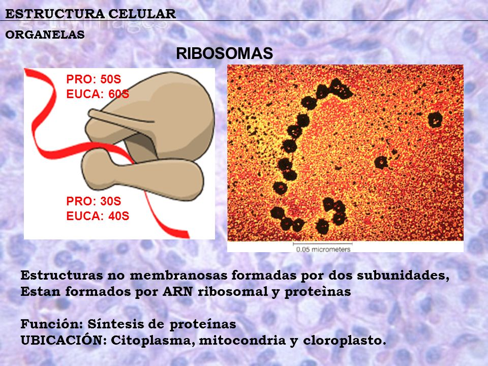 ESTRUCTURA CELULAR ORGANELAS Estructuras no membranosas formadas por dos subunidades, Estan formados por ARN ribosomal y proteìnas Función: Síntesis d
