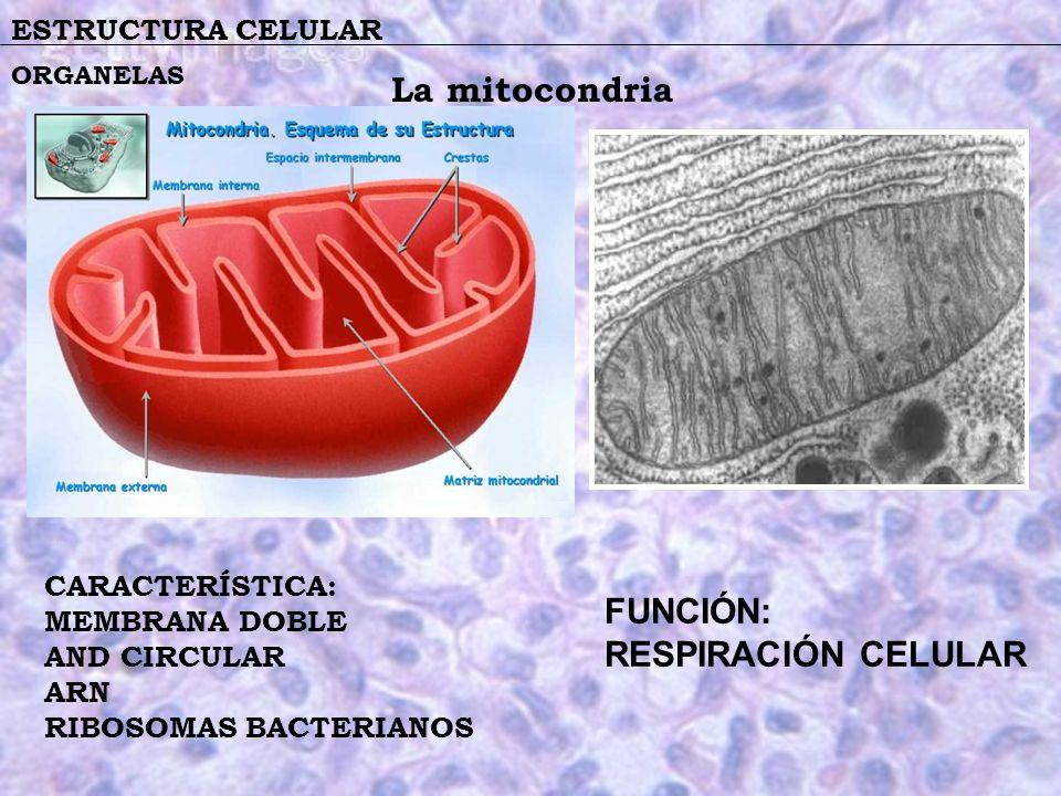 ESTRUCTURA CELULAR CARACTERÍSTICA: MEMBRANA DOBLE AND CIRCULAR ARN RIBOSOMAS BACTERIANOS ORGANELAS La mitocondria FUNCIÓN: RESPIRACIÓN CELULAR