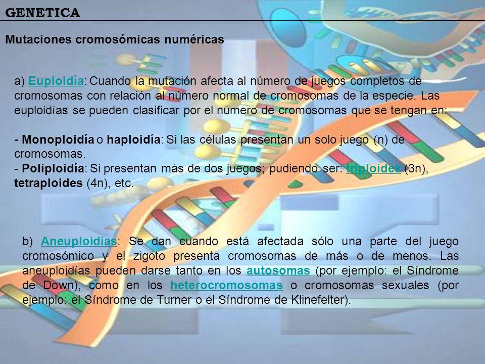 GENETICA Mutaciones cromosómicas numéricas a) Euploidía: Cuando la mutación afecta al número de juegos completos de cromosomas con relación al número