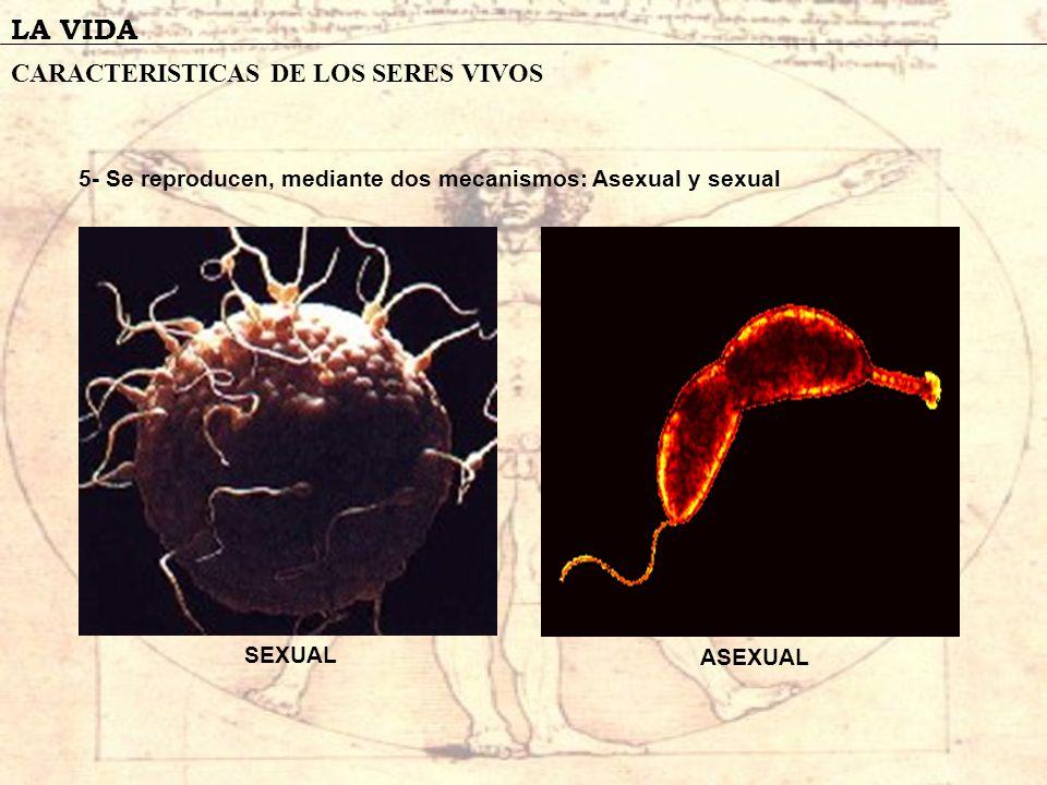 LA VIDA CARACTERISTICAS DE LOS SERES VIVOS 5- Se reproducen, mediante dos mecanismos: Asexual y sexual SEXUAL ASEXUAL