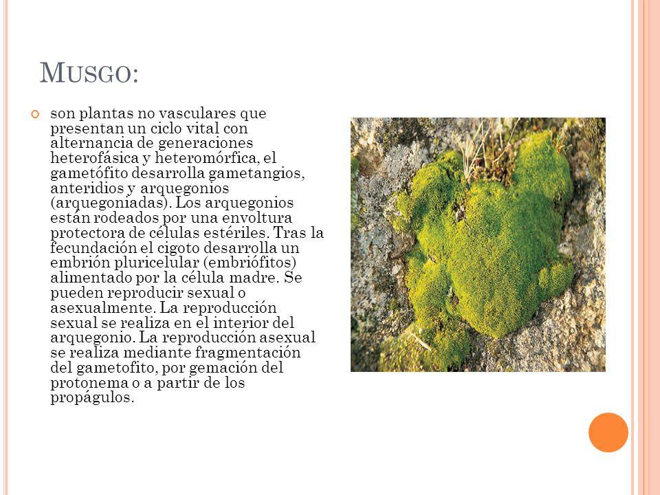 M USGO : son plantas no vasculares que presentan un ciclo vital con alternancia de generaciones heterofásica y heteromórfica, el gametófito desarrolla