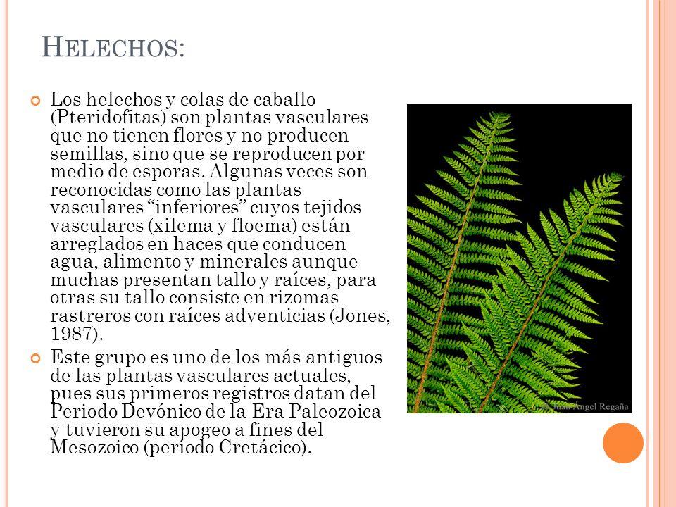 H ELECHOS : Los helechos y colas de caballo (Pteridofitas) son plantas vasculares que no tienen flores y no producen semillas, sino que se reproducen