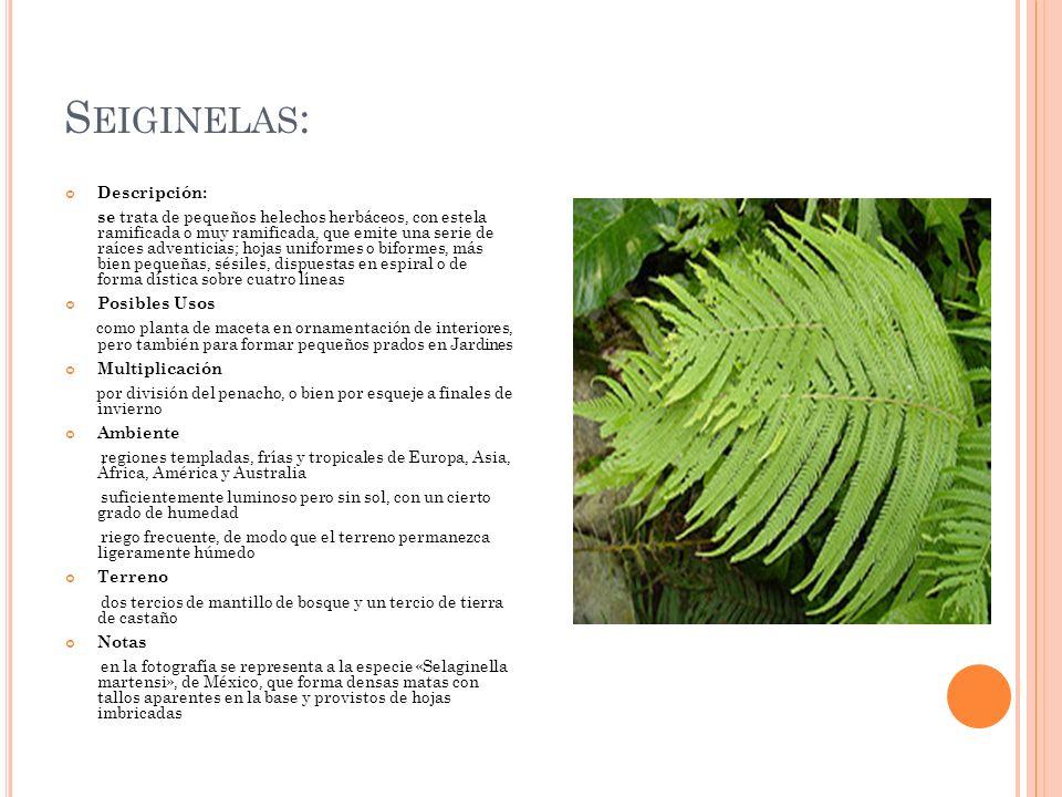 S EIGINELAS : Descripción: se trata de pequeños helechos herbáceos, con estela ramificada o muy ramificada, que emite una serie de raíces adventicias;