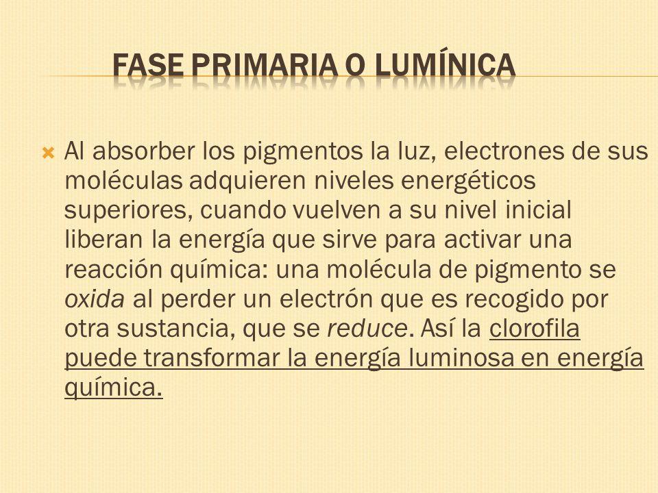 Al absorber los pigmentos la luz, electrones de sus moléculas adquieren niveles energéticos superiores, cuando vuelven a su nivel inicial liberan la e