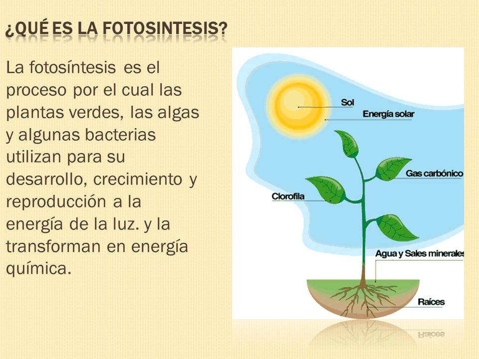 La fotosíntesis es el proceso por el cual las plantas verdes, las algas y algunas bacterias utilizan para su desarrollo, crecimiento y reproducción a