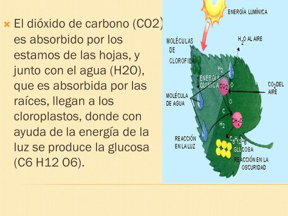 El dióxido de carbono (CO2 ) es absorbido por los estamos de las hojas, y junto con el agua (H2O), que es absorbida por las raíces, llegan a los cloro