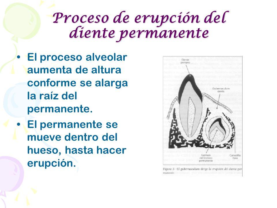 Proceso de erupción del diente permanente El proceso alveolar aumenta de altura conforme se alarga la raíz del permanente. El permanente se mueve dent