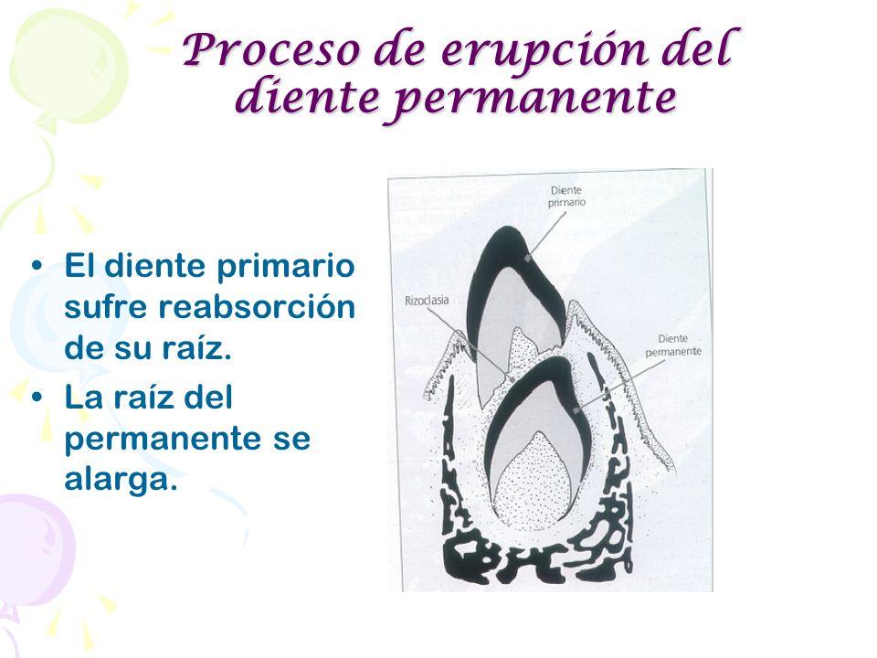 El diente primario sufre reabsorción de su raíz. La raíz del permanente se alarga. Proceso de erupción del diente permanente