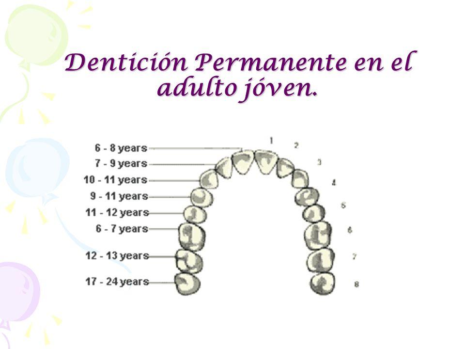 Dentición Permanente en el adulto jóven.