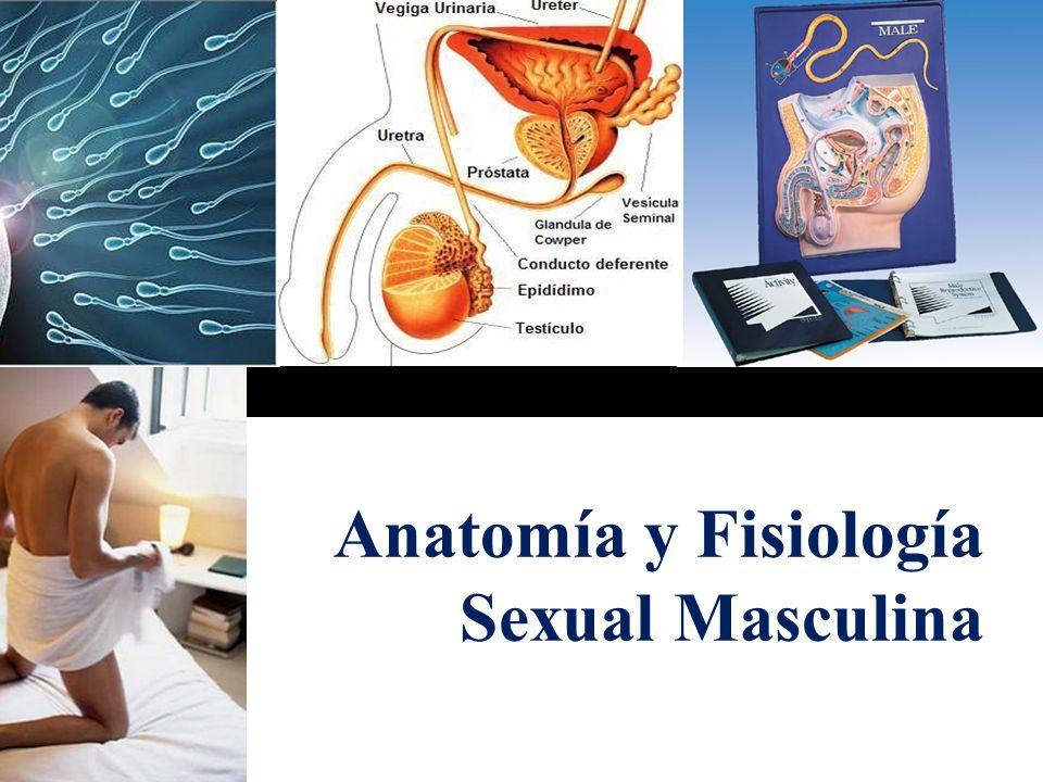 Anatomía y Fisiología Sexual Masculina