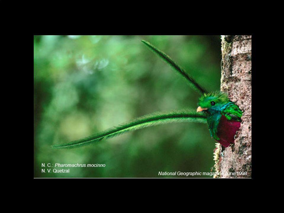National Geographic magazine June 1998 N. C.: Pharomachrus mocinno N. V. Quetzal