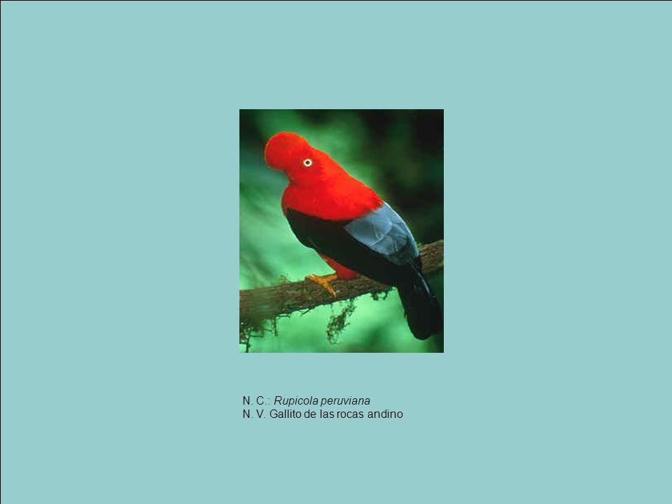 N. C.: Rupicola peruviana N. V. Gallito de las rocas andino