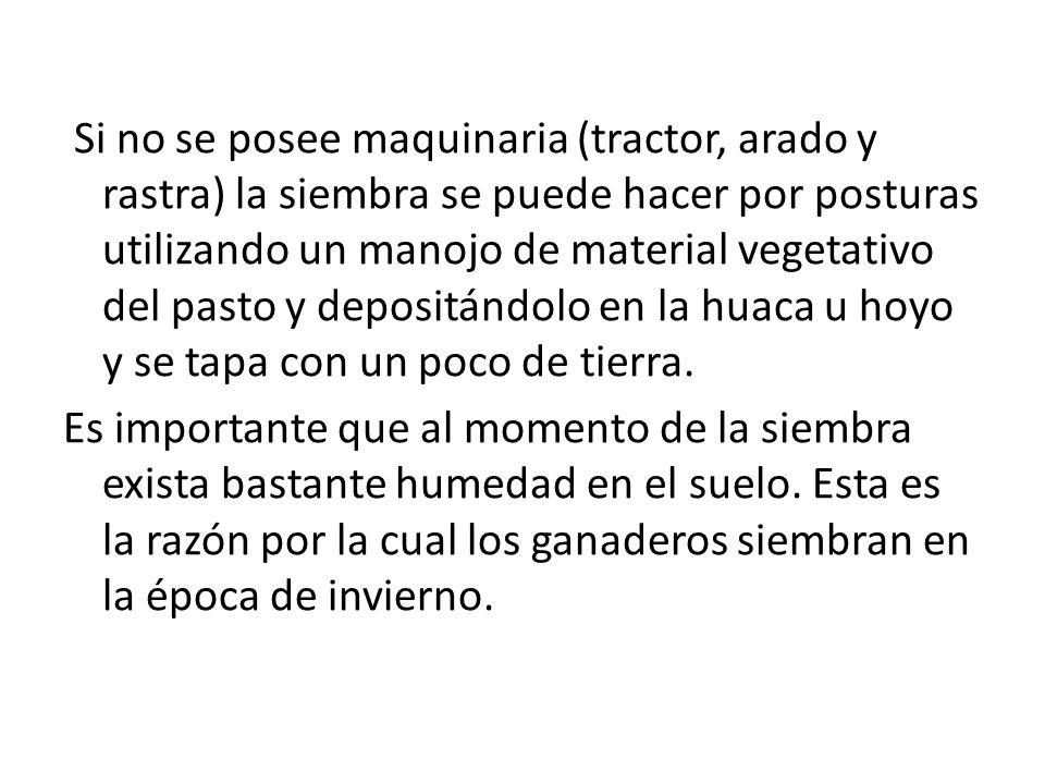 Si no se posee maquinaria (tractor, arado y rastra) la siembra se puede hacer por posturas utilizando un manojo de material vegetativo del pasto y dep
