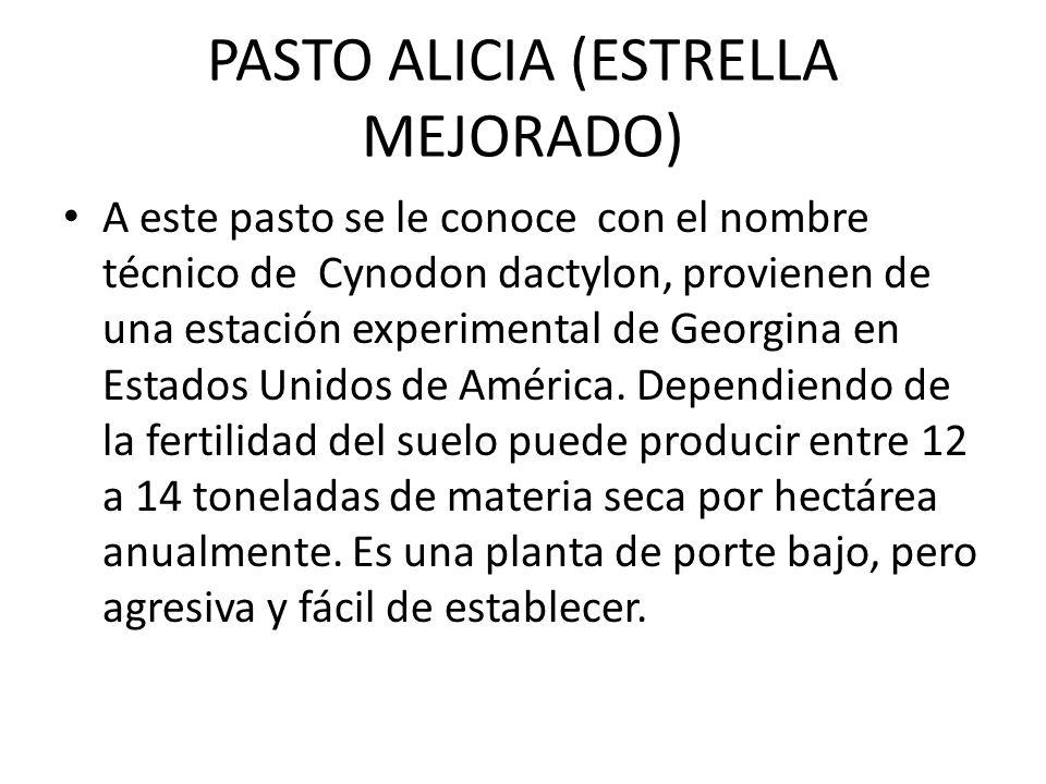 PASTO ALICIA (ESTRELLA MEJORADO) A este pasto se le conoce con el nombre técnico de Cynodon dactylon, provienen de una estación experimental de Georgi