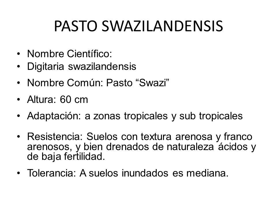 PASTO SWAZILANDENSIS Nombre Científico: Digitaria swazilandensis Nombre Común: Pasto Swazi Altura: 60 cm Adaptación: a zonas tropicales y sub tropical