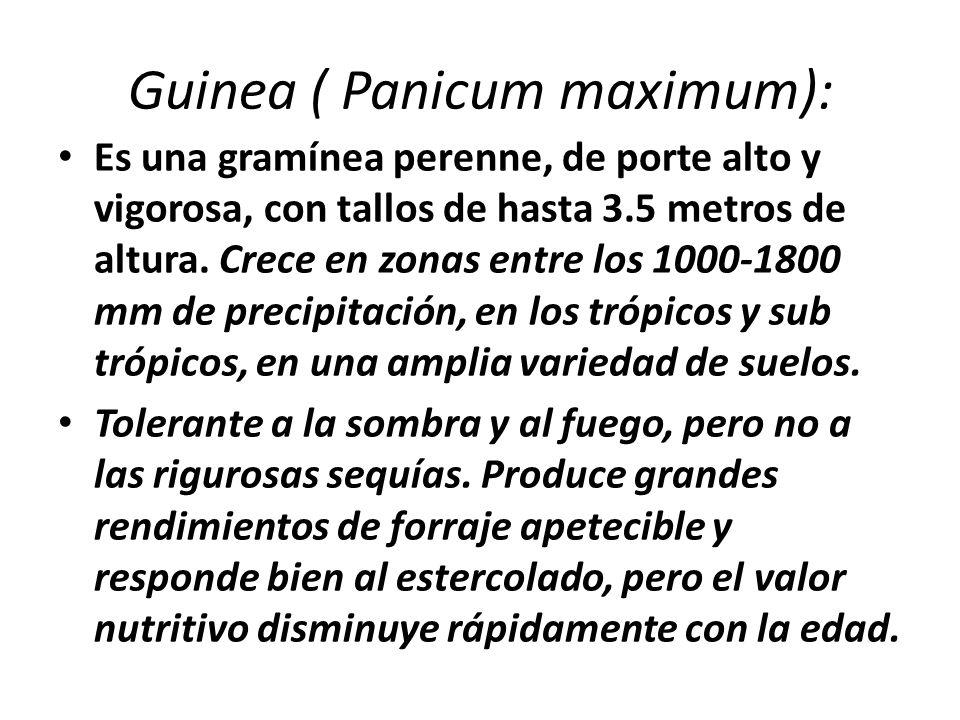 Guinea ( Panicum maximum): Es una gramínea perenne, de porte alto y vigorosa, con tallos de hasta 3.5 metros de altura. Crece en zonas entre los 1000-