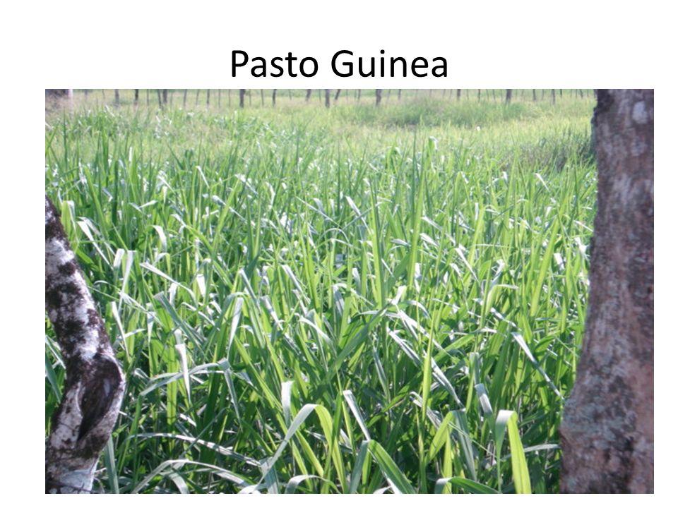 Pasto Guinea
