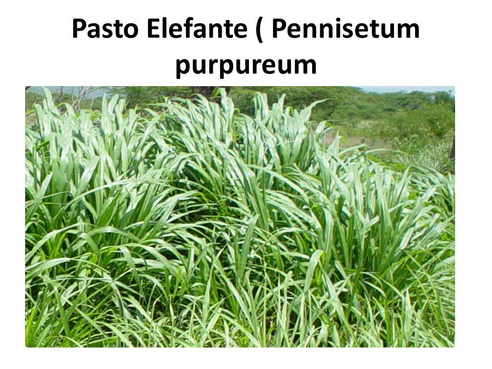 Pasto Elefante ( Pennisetum purpureum