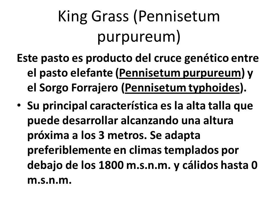 King Grass (Pennisetum purpureum) Este pasto es producto del cruce genético entre el pasto elefante (Pennisetum purpureum) y el Sorgo Forrajero (Penni