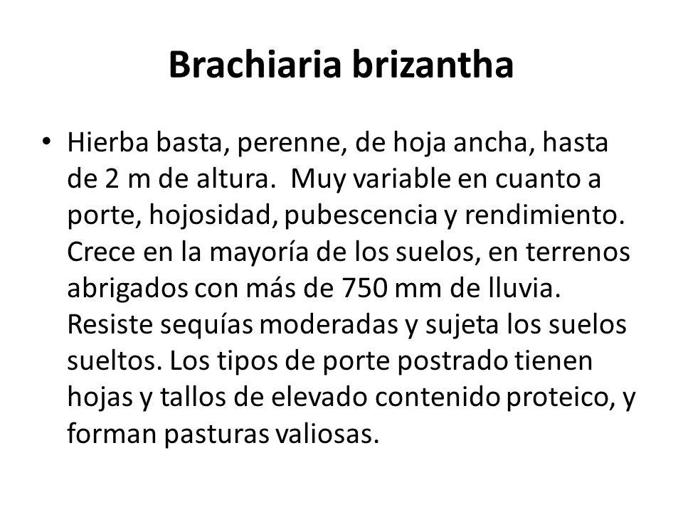Brachiaria brizantha Hierba basta, perenne, de hoja ancha, hasta de 2 m de altura. Muy variable en cuanto a porte, hojosidad, pubescencia y rendimient