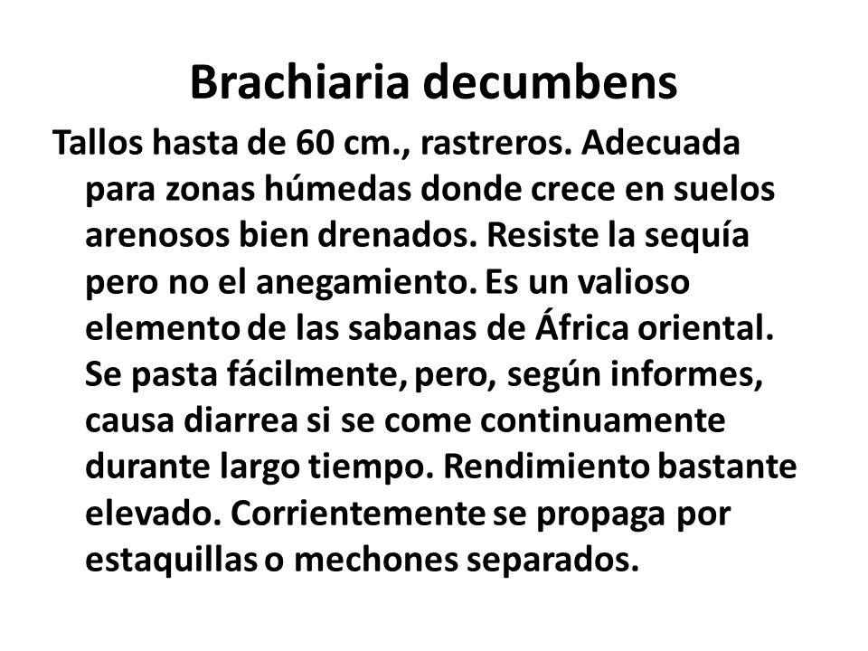 Brachiaria decumbens Tallos hasta de 60 cm., rastreros. Adecuada para zonas húmedas donde crece en suelos arenosos bien drenados. Resiste la sequía pe