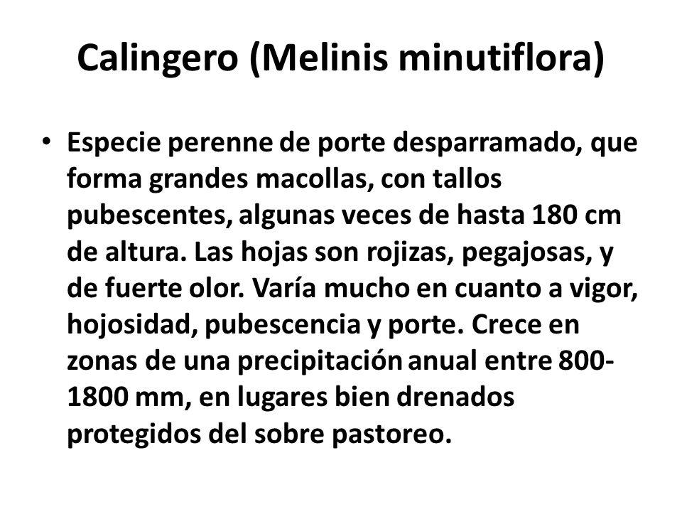 Calingero (Melinis minutiflora) Especie perenne de porte desparramado, que forma grandes macollas, con tallos pubescentes, algunas veces de hasta 180