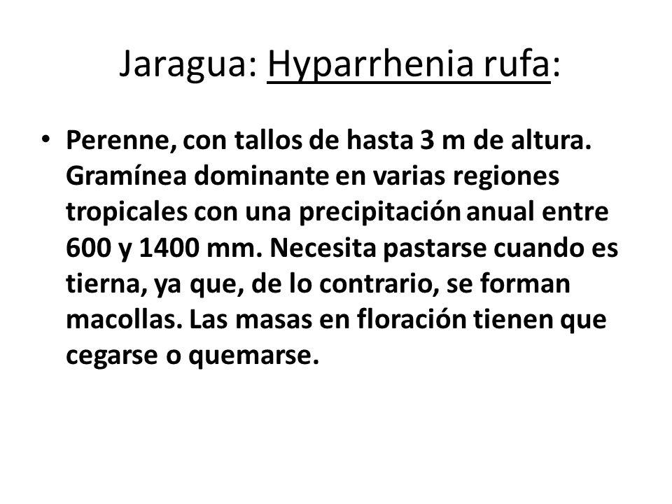 Jaragua: Hyparrhenia rufa: Perenne, con tallos de hasta 3 m de altura. Gramínea dominante en varias regiones tropicales con una precipitación anual en