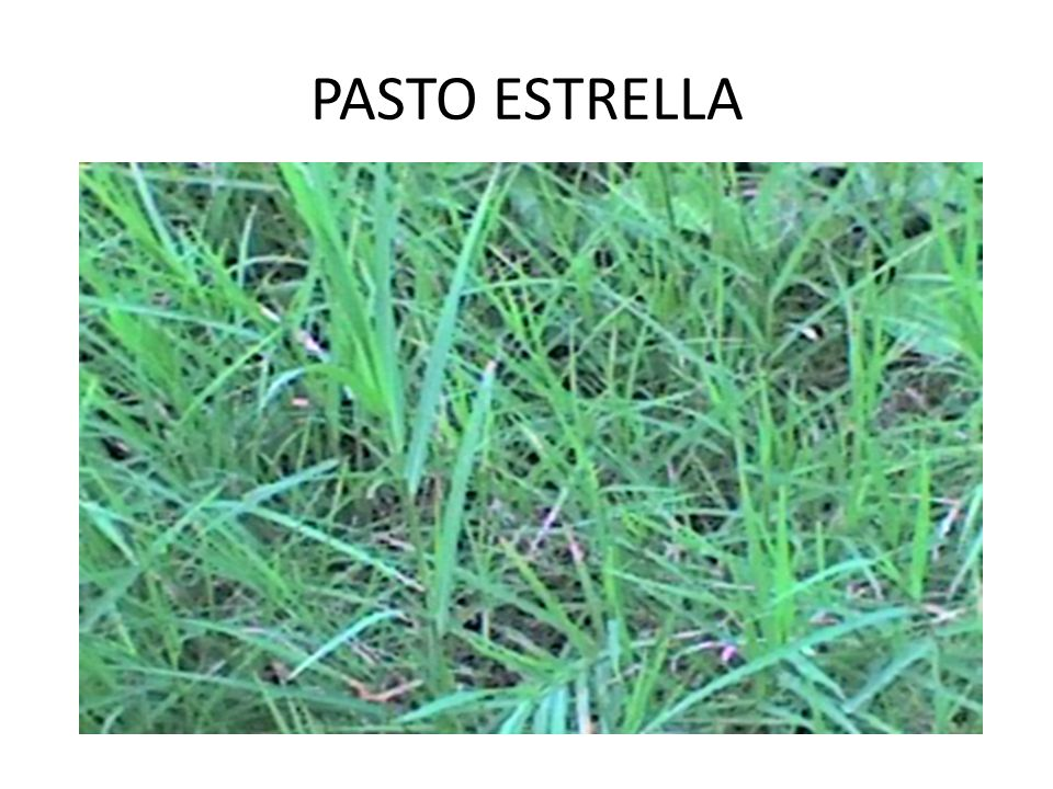 PASTO ESTRELLA
