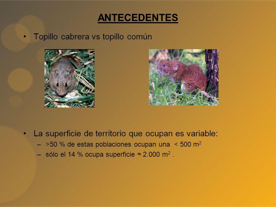 ANTECEDENTES Topillo cabrera vs topillo común La superficie de territorio que ocupan es variable: –>50 % de estas poblaciones ocupan una < 500 m 2 –só