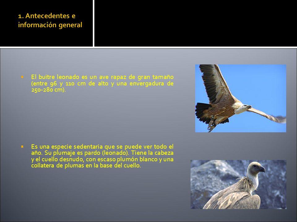 1. Antecedentes e información general El buitre leonado es un ave rapaz de gran tamaño (entre 96 y 110 cm de alto y una envergadura de 250-280 cm). Es