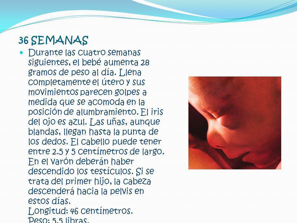 36 SEMANAS Durante las cuatro semanas siguientes, el bebé aumenta 28 gramos de peso al día. Llena completamente el útero y sus movimientos parecen gol