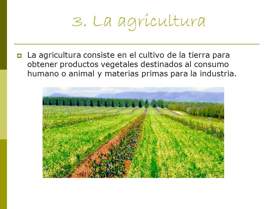3. La agricultura La agricultura consiste en el cultivo de la tierra para obtener productos vegetales destinados al consumo humano o animal y materias