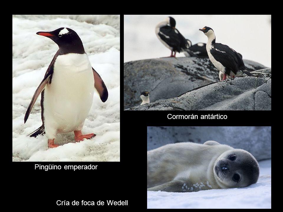 Pese a un clima tan adverso, la Antártida cuenta con un rico reino animal. En la actualidad, debido a las condiciones extremas del clima, en la Antárt