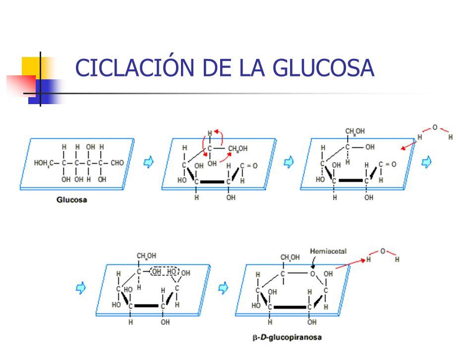 CICLACIÓN DE LA GLUCOSA