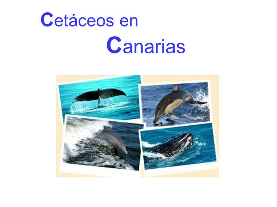 El orden de los cetáceos engloba a varias familias de mamíferos marinos como las ballenas, cachalotes, zifios, delfines, orcas y marsopas.