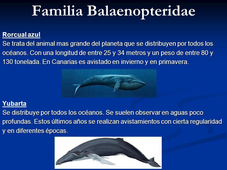 Familia Balaenopteridae Rorcual azul Se trata del animal mas grande del planeta que se distribuyen por todos los océanos. Con una longitud de entre 25