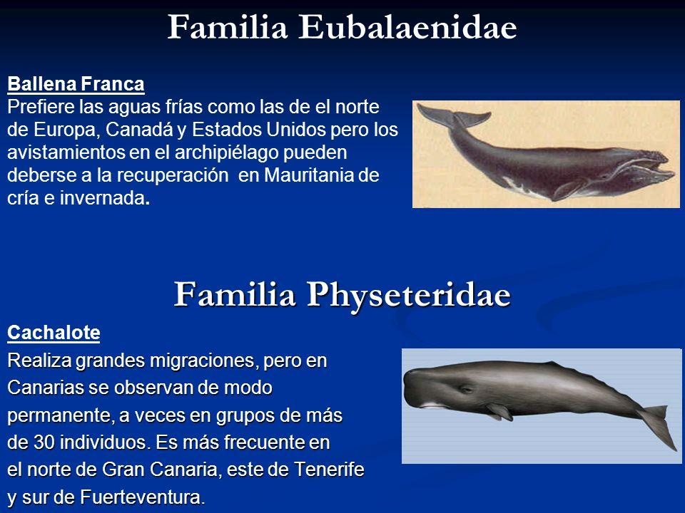 Familia Physeteridae Cachalote Realiza grandes migraciones, pero en Canarias se observan de modo permanente, a veces en grupos de más de 30 individuos