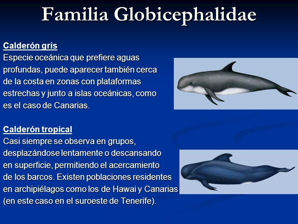 Familia Delphinidae Delfín común de hocico corto Frecuente en todas las islas, se observa con facilidad en el canal Tenerife-Gran Canaria y al noreste de Lanzarote.