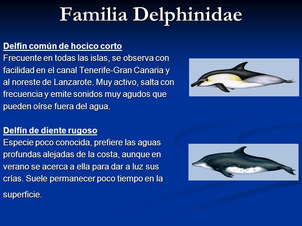 Familia Delphinidae Delfín común de hocico corto Frecuente en todas las islas, se observa con facilidad en el canal Tenerife-Gran Canaria y al noreste