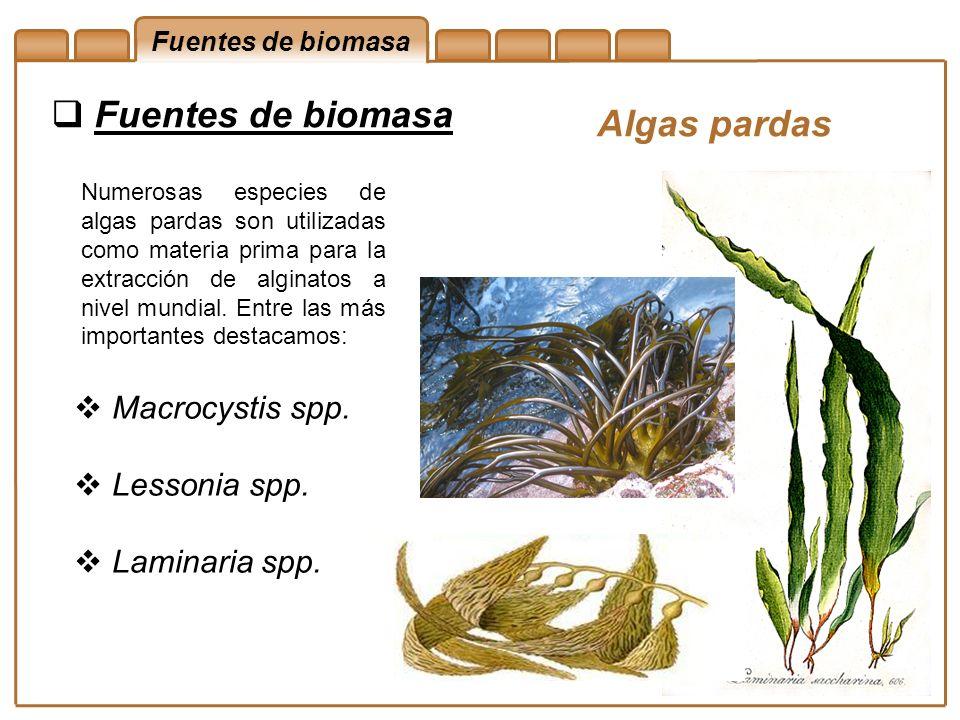 Fuentes de biomasa Algas pardas Numerosas especies de algas pardas son utilizadas como materia prima para la extracción de alginatos a nivel mundial.